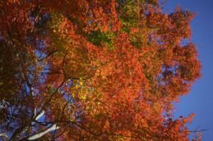 森林植物園3-紅葉のもみじ