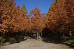 森林植物園8-メタセコイア並木