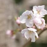 開花したばかりの桜2