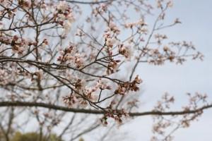 開花したばかりの桜3