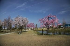 ひまわりの丘公園4